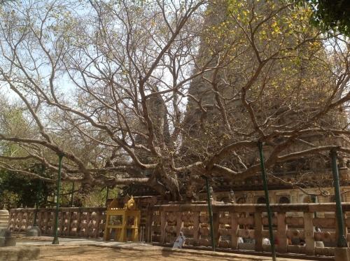 Mahabodhi Temple and Mahabodhi Tree