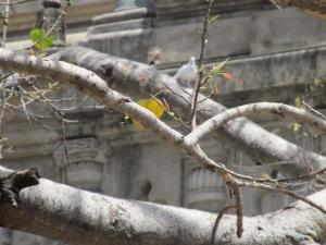 Mahabodhi Tree 1