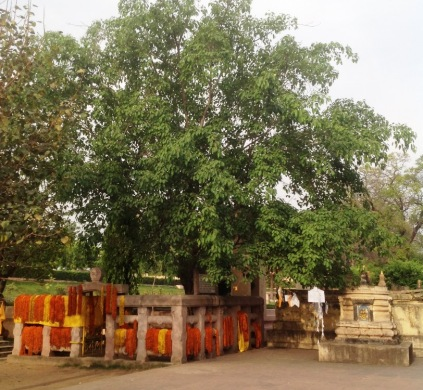 Rajratna Tree